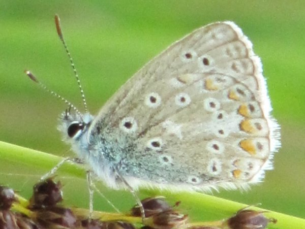 Common Blue (Male - underside)