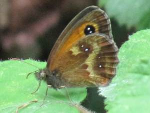 Gatekeeper (Male Underside)