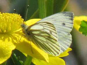 Green-veined White - (Female)