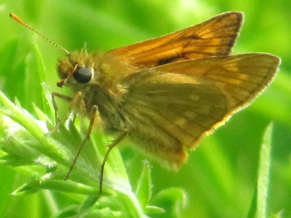 Large Skipper (Underside)