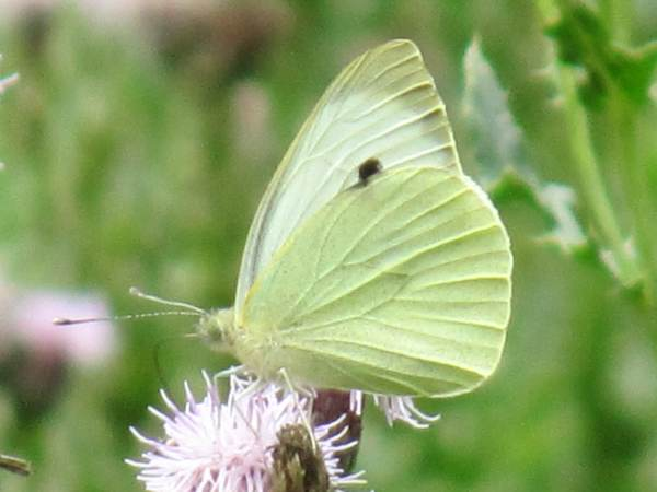 Large, Cabbage White (Male - underside)
