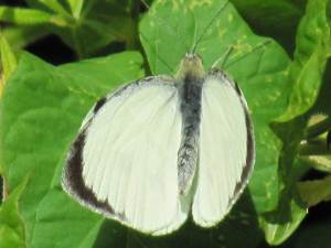 Large White (Male)