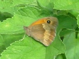 Meadow Brown (Female - underside)