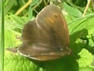 Meadow Brown (Male)