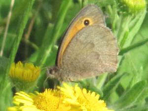 Meadow Brown (Male underside)