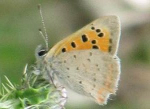 Small Copper (Male - underside)