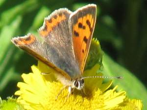 Small Copper (Male)