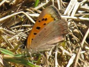 Small Copper (Female underside)
