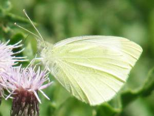 Small White (underside)