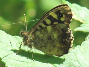 Speckled Wood (Underside)