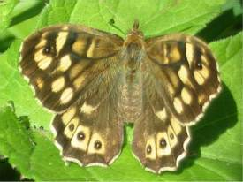 Speckled Wood (Female)