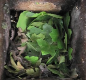 Fresh green leaves are a clear indication of a Dormouse nest.