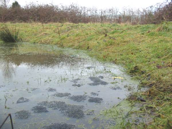 Howardian Local Nature Reserve   Frogspawn in Wildlife Pond