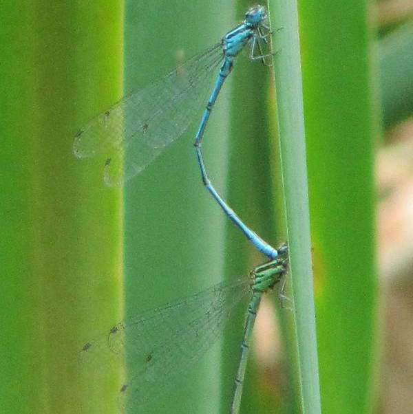 Azure Damselfly (Male & Female)