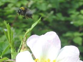Bee flying from Wild Rose