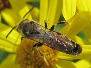 Solitary Bee (Lasioglossum sp.)