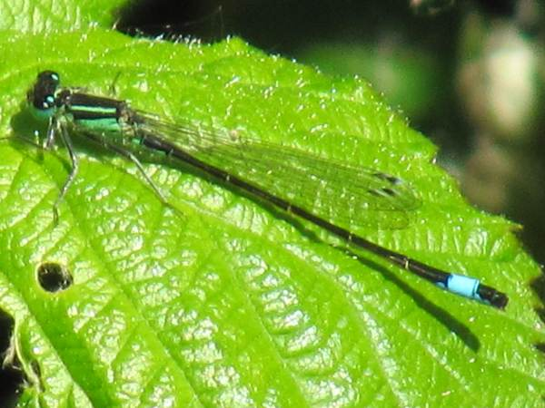 Howardian Local Nature Reserve   Azure Damselfly