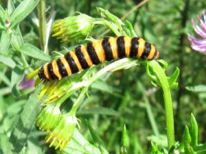 Cinnabar Moth (Caterpillar)