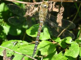 Migrant Hawker (Female)