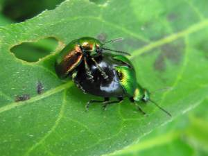 Green Dock Beetle, Mating