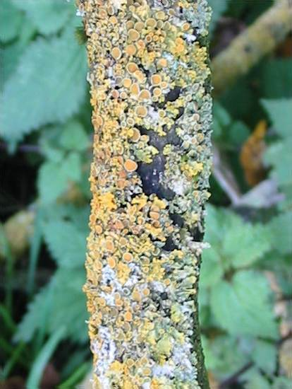 Howardian Local Nature Reserve Lichen Xanthoria parietina