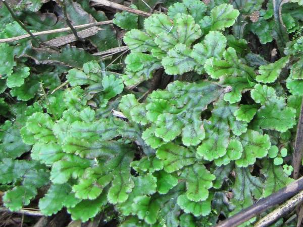 Howardian Local Nature Reserve   Liverwort ~   ??