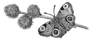 Drawing of Peacock Butterfly by Dr Mary Gillham MBE