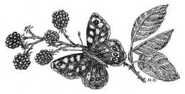 Drawing of Speckled Wood Butterfly by Dr Mary Gillham MBE