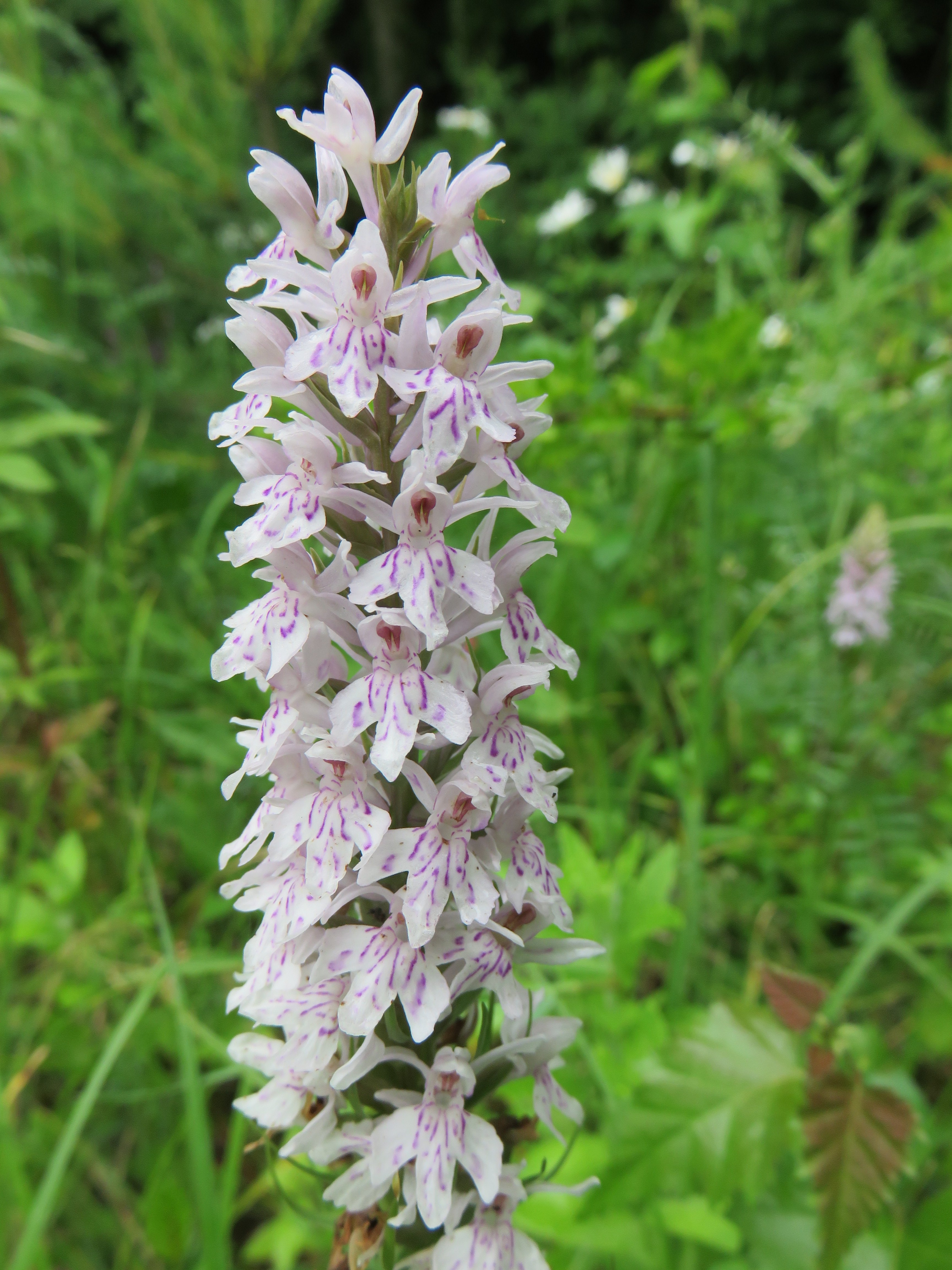 Howardian Local Nature Reserve Common Spotted-orchid (Dactylorhiza fuchsii)