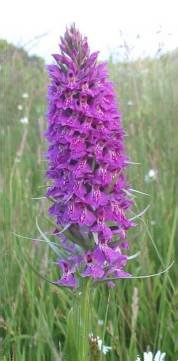 Common Spotted-orchid x   Southern Marsh-orchid