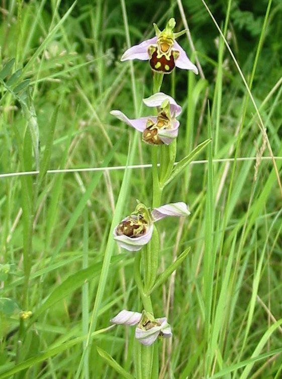 Howardian Local Nature Reserve Common Spotted-orchids