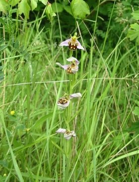 Bee Orchid   data sheet