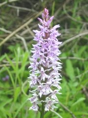Common Spotted Orchid detail