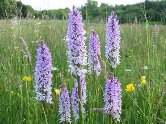Common Spotted-orchids in flower ~ 13th June   on the Wildflower Meadow   Howardian Local Nature Reserve