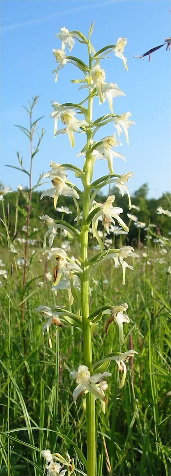 Howardian Local Nature Reserve Gteater Butterfly Orchid