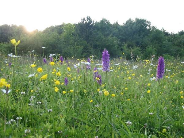 Orchids on the Wildflower Meadow