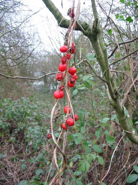 Howardian Local Nature Reserve Black Bryony