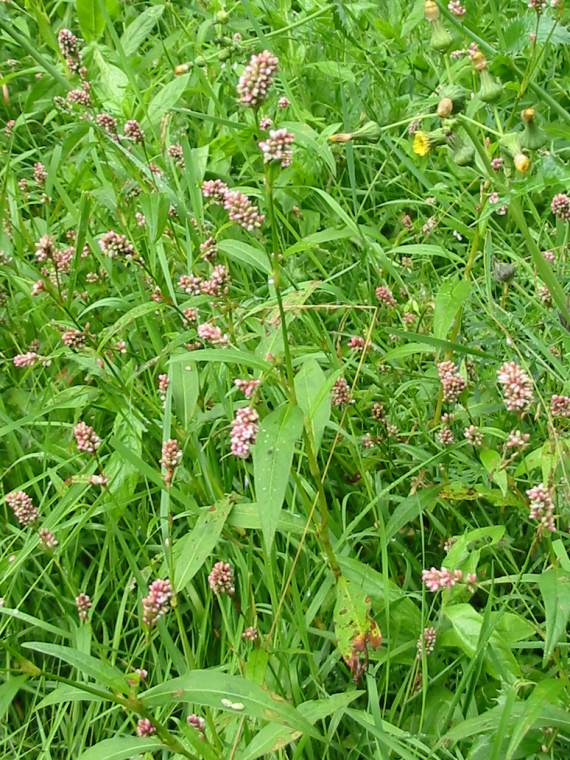 Howardian Local Nature Reserve Common Persicaria
