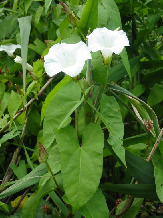 Howardian Local Nature Reserve Greater Bindweed