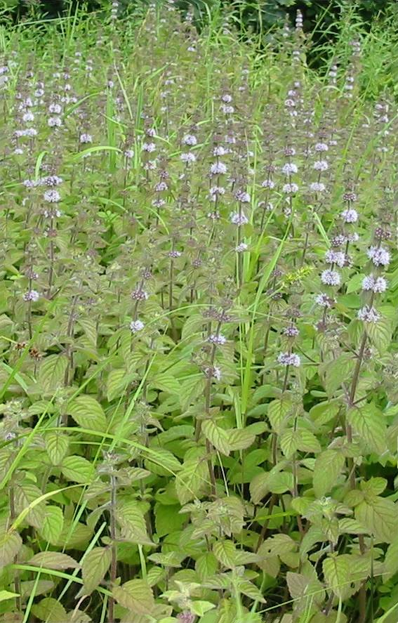Howardian Local Nature Reserve Corn Mint