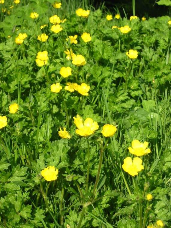 Howardian Local Nature Reserve Creeping Buttercup