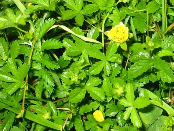Howardian Local Nature Reserve Creeping Cinquefoil