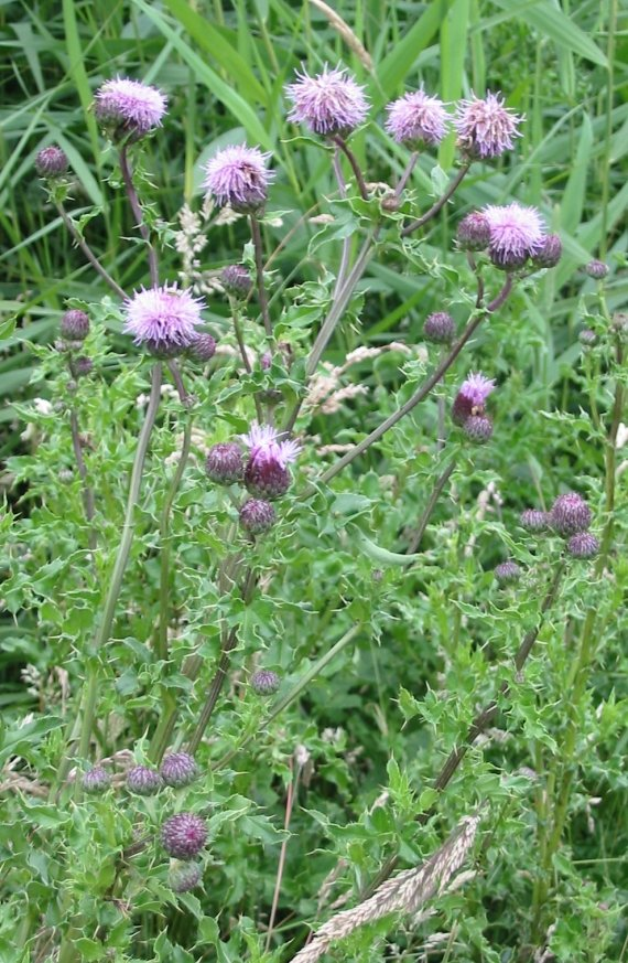 Howardian Local Nature Reserve Creeping Thistle