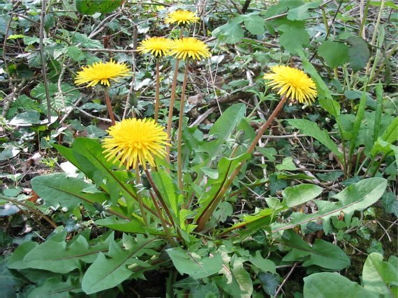 Howardian Local Nature Reserve Dandelion