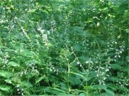 Enchanter's Nightshade