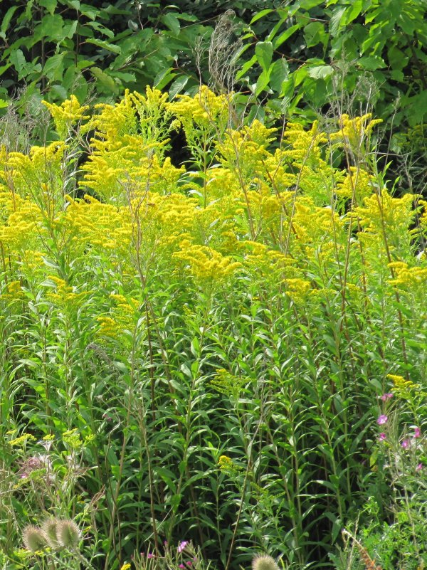 Howardian Local Nature Reserve Candaian Goldenrod