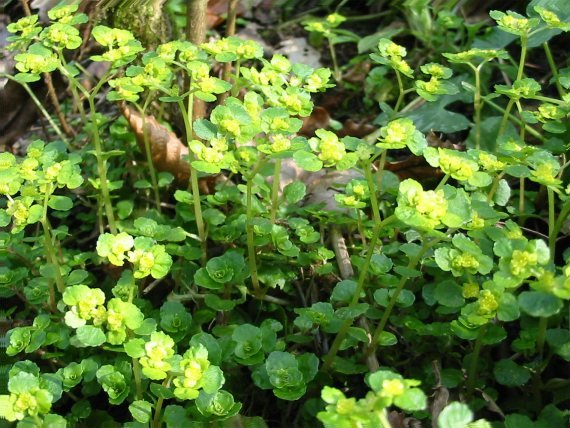 Howardian Local Nature Reserve Golden Saxifrage