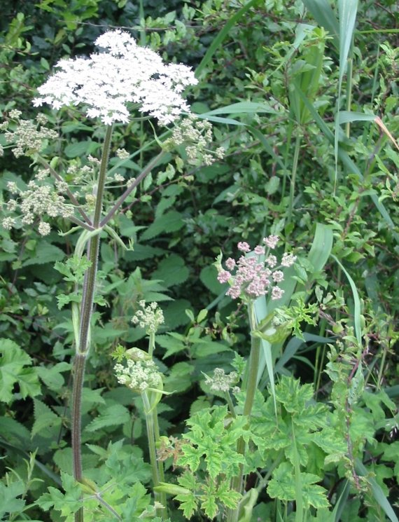 Howardian Local Nature Reserve Hogweed
