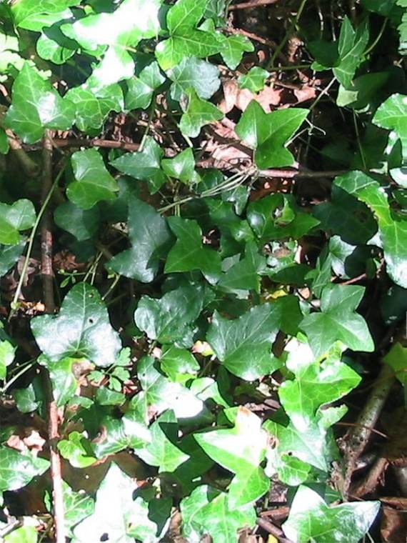 Howardian Local Nature Reserve Ivy