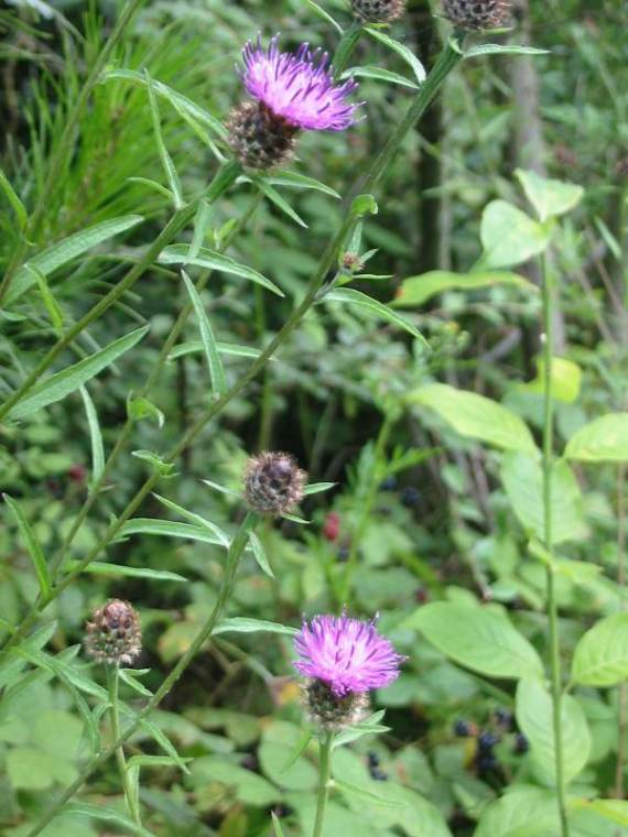 Howardian Local Nature Reserve Knapweed